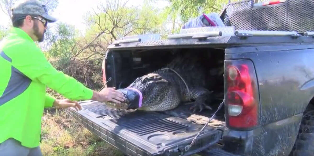 """""""Gator"""" Chris Stephens and Christy Kroboth release """"Godzilla,"""" an 800-pound alligator found outside the Sugar Land, Texas Home Depot, back into the wild at the Janik alligator farm near El Campo, Texas."""