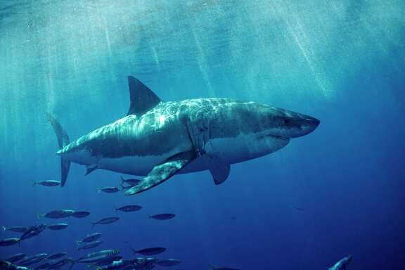 (GERMANY OUT) Great White Shark, Carcharodon carcharias, USA, California, Pacific Ocean, Farallon Island, San Francisco Bay