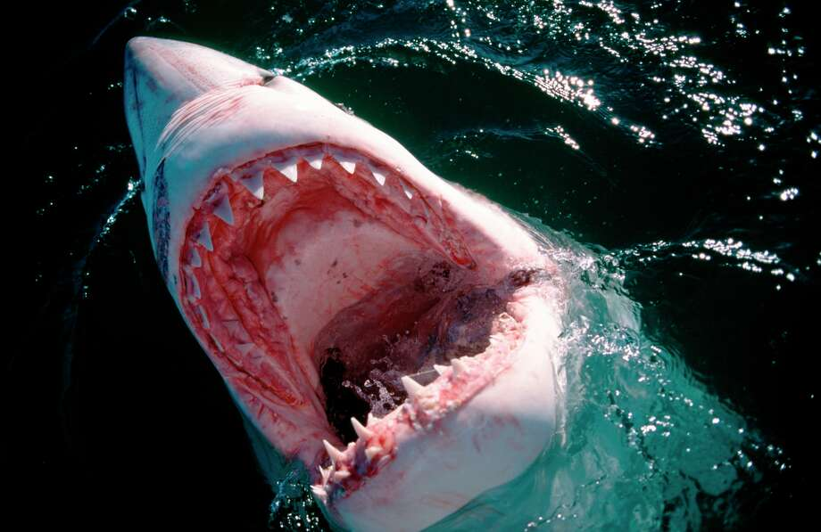 FILE: Photo of the inside of the mouth of a Great White Shark Photo: Klaus Jost (jostimages.com), Getty Images / © Klaus Jost - www.jostimages.com, phone: +49 (6102) 432930, fax: +49 (6102) 432932, mail: info@jostimages.com