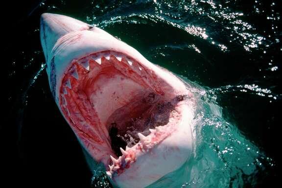 Weißer Hai/Great White Shark/Carcharodon carcharias  Blick in den Weißen Hai Rachen Photo of the inside of the mouth of a Great White Sharkk   Sechs Seemeilen vor der Kueste von Gansbaai, ganz in der Naehe von Dyer Island und Geyser Rock, durchbricht ein Weißer Hai die Wasseroberflaeche. Sein Maul ist weit geoeffnet und seine scharfen dreieckigen Zähne im Oberkiefer und den nadelspitzen Fangzähnen im Unterkiefer sind zu sehen. Auch ueber Wasser kann der Hai die Lage bestens beurteilen und seine Jagdtaktik entsprechend ausrichten. Haeufig findet er seine Beute an der Wasseroberflaeche. Der Weiße Hai gehoert zur Familie der Makrelenhaie und hat sehr große Kiemenspalten und lange Brustflossen. Der Super-Raeuber Weiße Hai ist mit seiner Groeße und Kraft und seinem fuerchterlichen Gebiss eine staendige Gefahr für die Suedafrikanischen Pelzrobben um Dyer Island und Geyser Rock. Das Maul des Weißen Hais mit den scharfen dreieckigen Zaehnen im Oberkiefer und den nadelspitzen Fangzaehnen im Unterkiefer ist beruechtigt und gefuerchtet. Um auch große Beute machen zu koennen, ist der Oberkiefer beweglich und kann nach vorne geschoben werden. Ausgefallene oder beschaedigte Zaehne werden lebenslang problemlos ersetzt. Bei einem Ueberraschungsangriff aus der Tiefe beschleunigen die Tiere so stark, dass sie manchmal aus dem Wasser herausschießen. Der Weiße Hai kann im Augenblick des Zubeißens den Naehrwert der Beute analysieren. Entspricht sie nicht seinen Erwartungen, bricht er die Aktion nach einem einzigen Biss ab. Der Topraeuber Weiße Hai steht an der Spitze der Nahrungskette und erfuellt eine wichtige Aufgabe zur Erhaltung des oekologischen Gleichgewichts im Meer. Den Weißen Hai gibt es seit Jahrmillionen nahezu unveraendert, er hat sich optimal an seine Umwelt angepasst. Doch jetzt besteht die Gefahr, dass er durch uns Menschen ausgerottet wird.