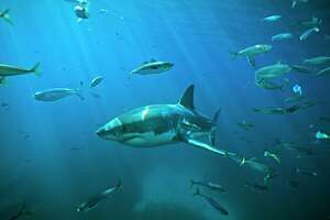 Is this the biggest great white shark ever filmed? - Photo