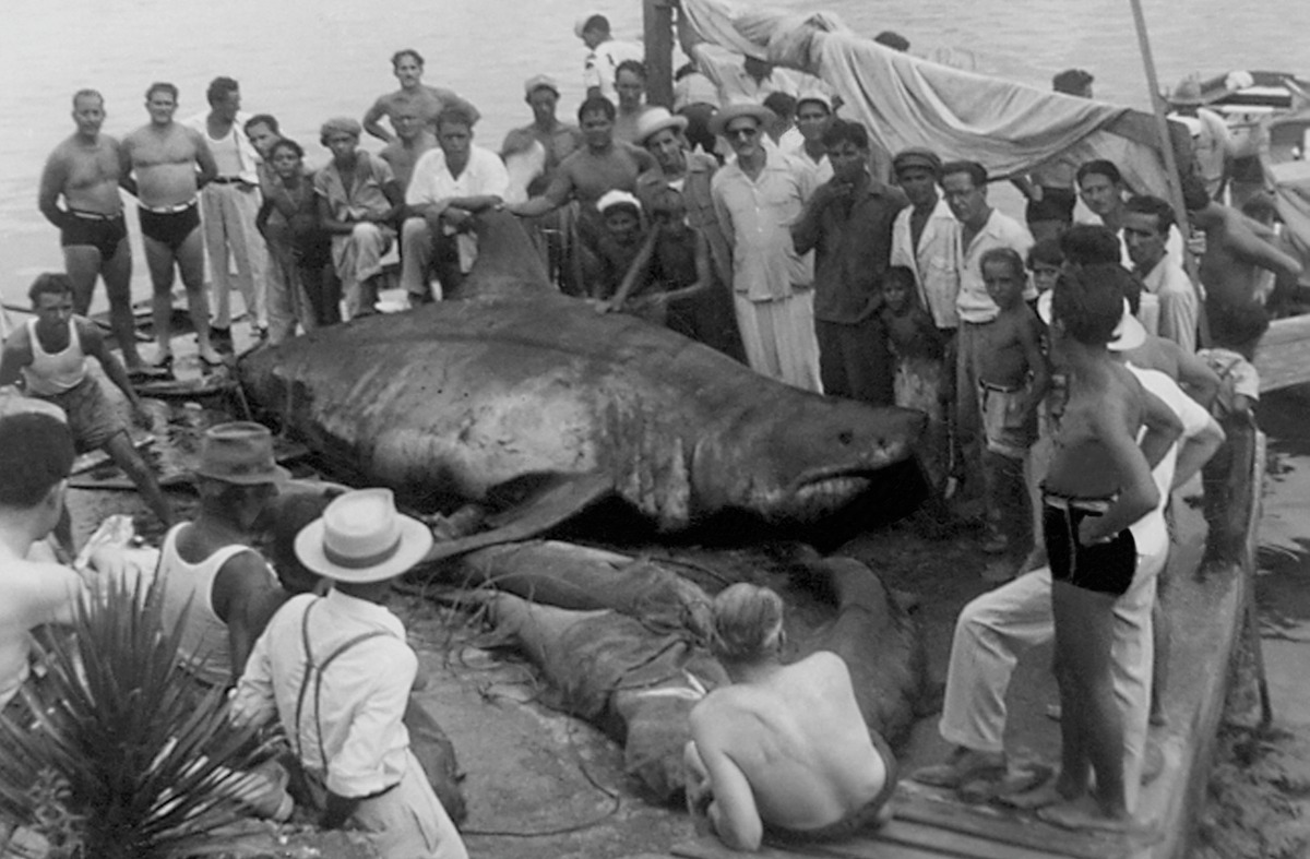 A group of spectators surround a great white shark lying on the shoreline in Cuba circa 1940.