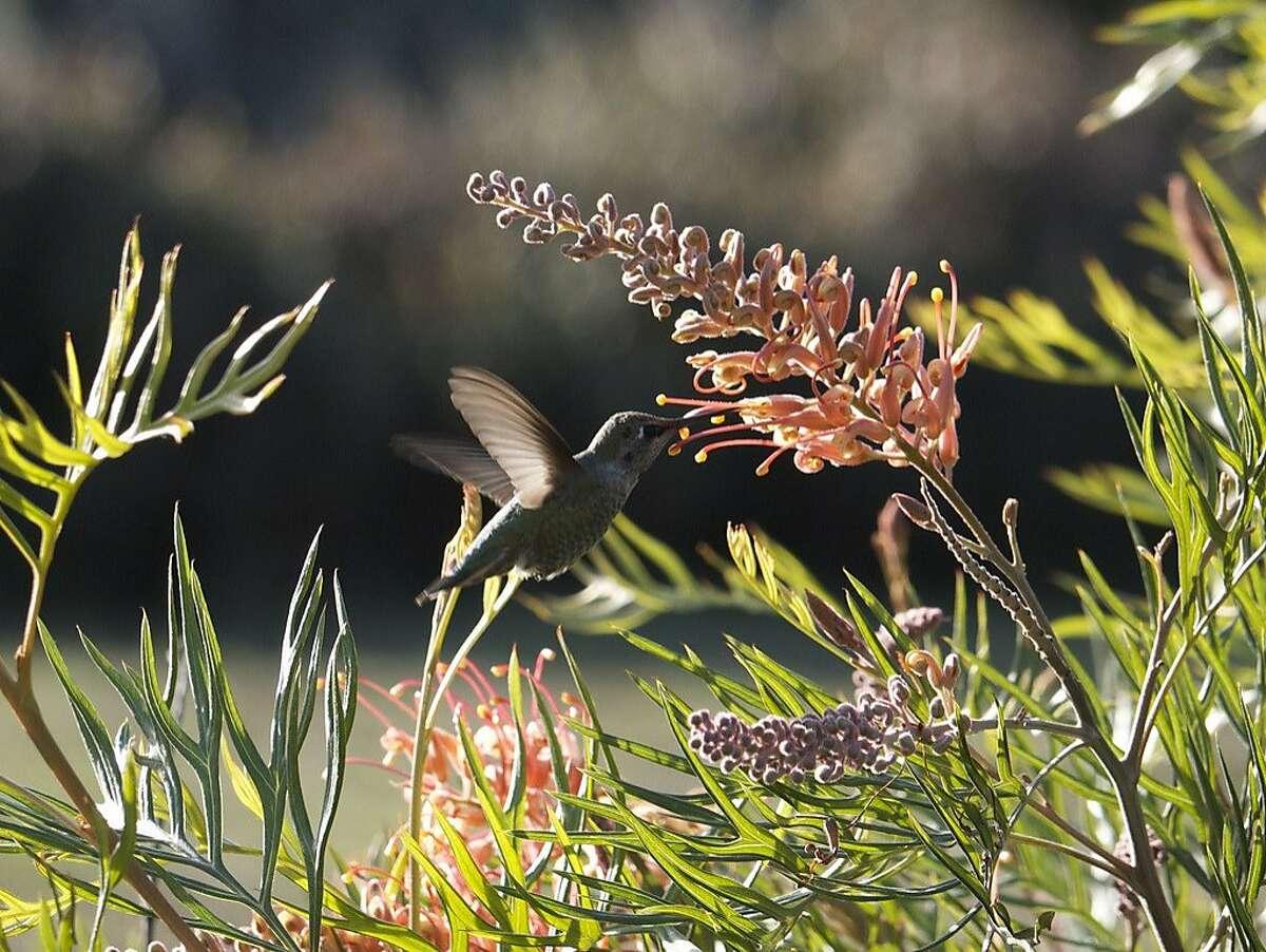 Hummingbird at the UCSC Arboretum.