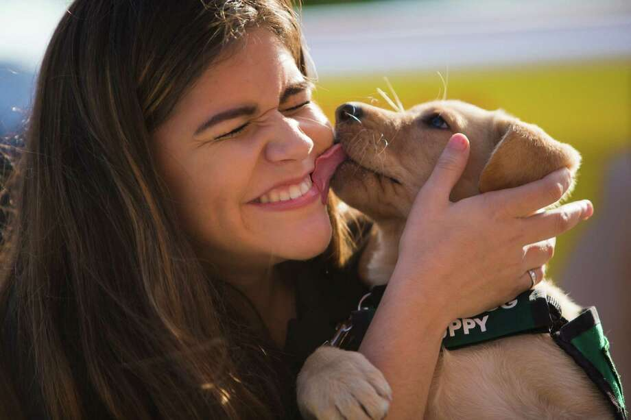 Eight-week-old yellow labrador Grazie licks the cheek of Sydney Bonner, 16, a tenth grade student at J. Frank Dobie High School, right after Guide Dogs for the Blind delivered three puppies to three volunteers to the high school. Bonner is volunteering to the take good care of Grazie as part of Grazie's guide dog training. Total of 40 J. Frank Dobie High School students applied for the opportunity to volunteer, but only three students were selected.  Tuesday, Nov. 10, 2015, in Pasadena. Photo: Marie D. De Jesus, Houston Chronicle / © 2015 Houston Chronicle