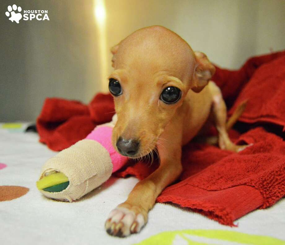 Teena, a tiny puppy with a broken leg, was found in an apartment parking lot and is now in the care of the Houston SPCA, Nov. 10, 2015. (Lisa Rotter / Houston SPCA)