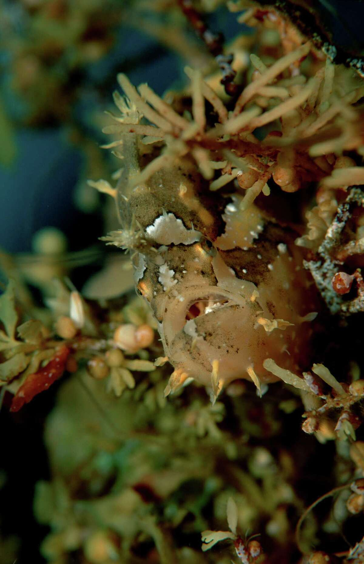 (GERMANY OUT) Sargassum frogfish, Histrio histrio, Papua New Guinea, Pacific ocean