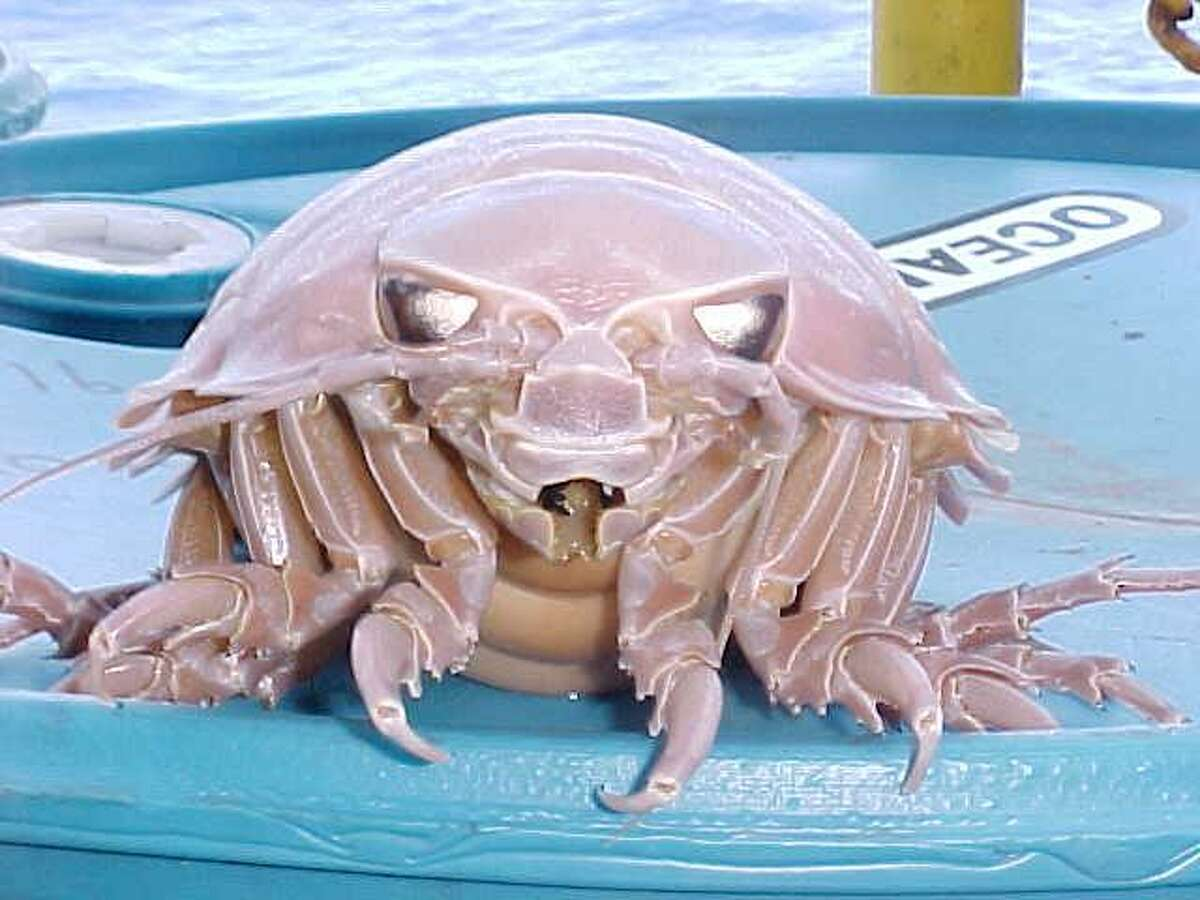 Giant isopod (Bathynomus giganteus)  These enormous creepy-crawlies are essentially underwater pillbugs. They can grow larger than a foot long as the isopods scavenge ocean floor. Source: Wikimedia Commons