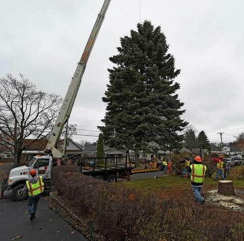 The blue spruce that Evelyn and Philip Parks donated to the State is cut from the front lawn of their home Nov. 12, 2015 in Rotterdam, N.Y.  The stately tree which they donated  to the State of New York will be placed at the Empire State Plaza as the state's Holiday tree.  (Skip Dickstein/Times Union) Photo: SKIP DICKSTEIN / 00034212A