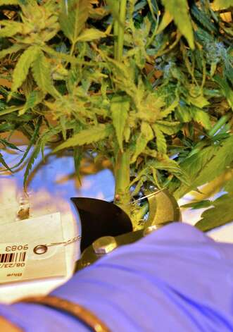 First harvest of cannabis plants by Vireo Health of New York has begun at Tryon Technology Park and Incubator Center Thursday Nov. 12, 2015 in Perth, NY.  (John Carl D'Annibale / Times Union) Photo: John Carl D'Annibale / 10034216A