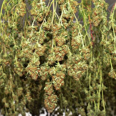 First harvest of cannabis plants in the drying room at Vireo Health of New York's Tryon Technology Park and Incubator Center Thursday Nov. 12, 2015 in Perth, NY.  (John Carl D'Annibale / Times Union) Photo: John Carl D'Annibale / 10034216A