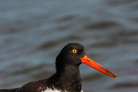 American oystercatchers can be found along Gulf Coast shores, fishing dikes, mud flats, and beaches.  They often get tangled in fishing lines left behind by anglers.  Photo Credit:  Kathy Adams Clark.  Restricted use.