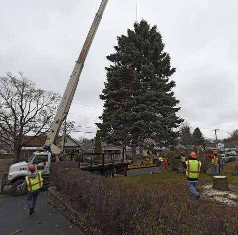 The blue spruce that Evelyn and Philip Parks donated to the State is cut from the front lawn of their home Nov. 12, 2015 in Rotterdam, N.Y.  The stately tree which they donated  to the State of New York will be placed at the Empire State Plaza as the state's Holiday tree.  (Skip Dickstein/Times Union) Photo: ALBANY TIMES UNION