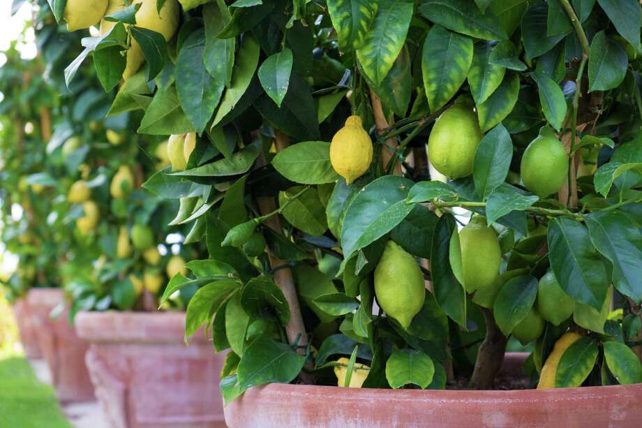 If your containers will be on a patio or in a dooryard, you may want to consider fruits that have a high ornamental value. / iStockphoto