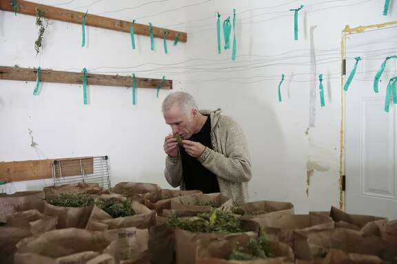 Tim Blake, founder and producer of the The Emerald Cup, smells untrimmed Berry White strain marijuana in a drying room at his farm in Laytonville California, Friday, November 13, 2015. Ramin Rahimian/Special to The Chronicle