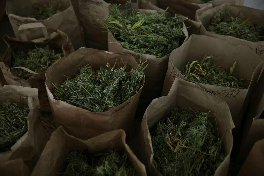 Broken down marijuana plants sit in bags before being trimmed at Tim Blake's farm Laytonville California, Friday, November 13, 2015. Ramin Rahimian/Special to The Chronicle Photo: Ramin Rahimian, Special To The Chronicle