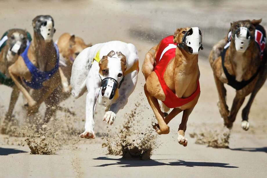 A heat of Greyhound racing dogs runs at Gulf Greyhound Park. Photo: Michael Paulsen, Staff / © 2011 Houston Chronicle