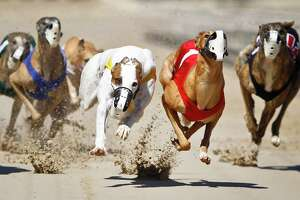 A heat of Greyhound racing dogs runs at Gulf Greyhound Park.