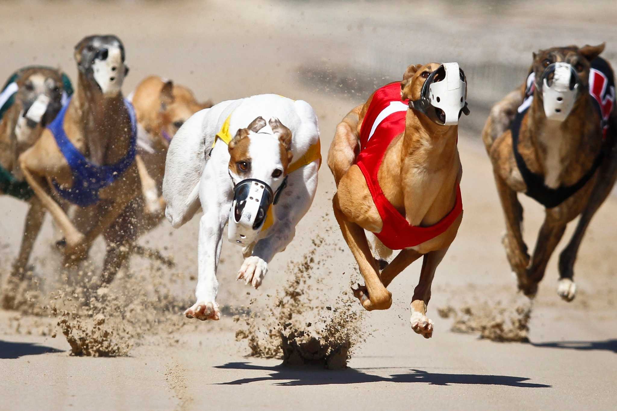 Dog racing betting games on the golf how to bet on college football and win