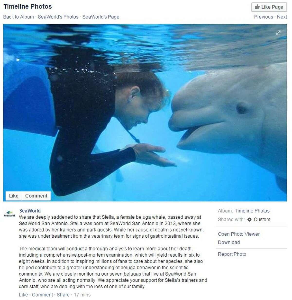 Stella, a two-year-old beluga whale at SeaWorld San Antonio, died Nov. 13, 2015.
