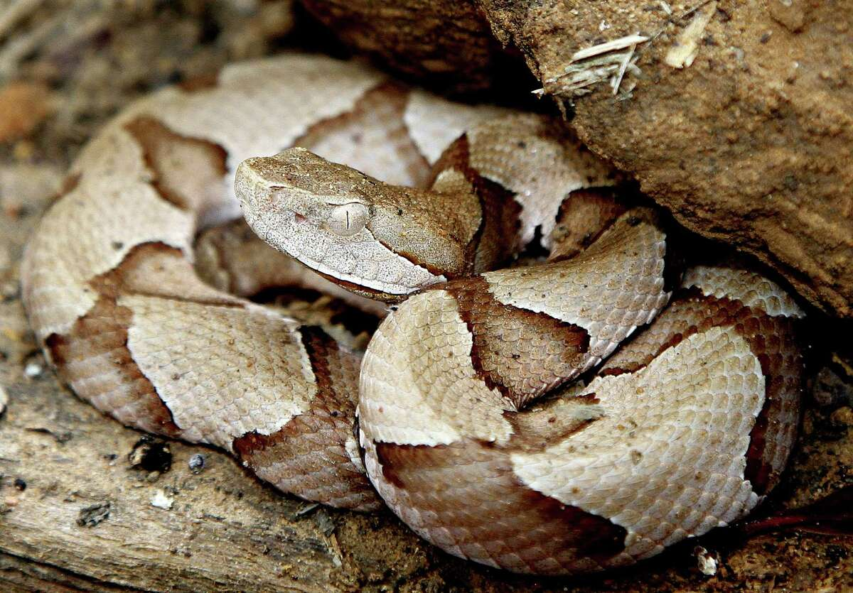 Outdoorsmen know to keep an eye out for copperheads when they're in the woods, but now the venomous snakes are gathering in groups on freshly mowed lawns. Click through to see how to identify common snakes in Houston.