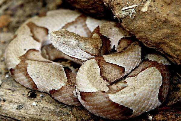 Copperheads, responsible for the largest number of venomous snake bites in Texas, are on the move this month as they feed heavily and search for warm, dry places to spend the coming winter.