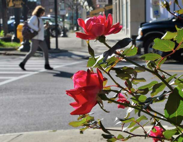 Roses still bloom along Broadway Tuesday Nov. 17, 2015 in Albany, NY.  (John Carl D'Annibale / Times Union) Photo: John Carl D'Annibale
