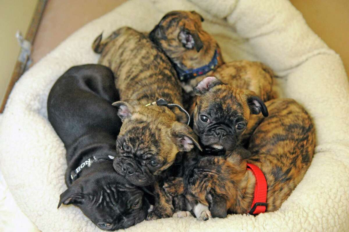 Five pug puppies huddle together some of the thirty-four dogs and six cats taken in at the Mohawk Hudson Humane Society shelter on Tuesday Nov.17, 2015 in Menands, N.Y. About 240 animals were removed from a home in Westerlo. (Michael P. Farrell/Times Union)