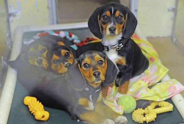 Some of the thirty-four dogs and several cats taken in at the Mohawk Hudson Humane Society shelter on Tuesday Nov.17, 2015 in Menands, N.Y. About 240 animals were removed from a home in Westerlo.  (Michael P. Farrell/Times Union) Photo: Michael P. Farrell / 10034315A