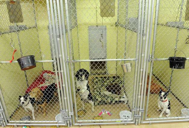 Some of the thirty-four dogs and six cats taken in at the Mohawk Hudson Humane Society shelter on Tuesday Nov.17, 2015 in Menands, N.Y. About 240 animals were removed from a home in Westerlo.  (Michael P. Farrell/Times Union) Photo: Michael P. Farrell / 10034315A