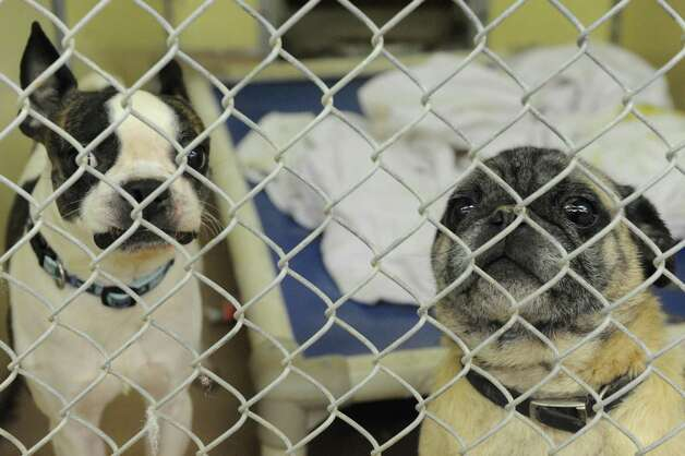 Some of the thirty-four dogs and eight cats taken in at the Mohawk Hudson Humane Society shelter on Tuesday Nov.17, 2015 in Menands, N.Y. About 240 animals were removed from a home in Westerlo.  (Michael P. Farrell/Times Union) Photo: Michael P. Farrell / 10034315A
