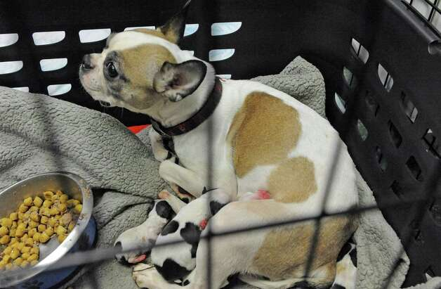 A mother and her newborn puppies some of the thirty-four dogs and six cats taken in at the Mohawk Hudson Humane Society shelter on Tuesday Nov.17, 2015 in Menands, N.Y. About 240 animals were removed from a home in Westerlo.  (Michael P. Farrell/Times Union) Photo: Michael P. Farrell / 10034315A