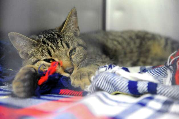 One of the thirty-four dogs and six cats taken in at the Mohawk Hudson Humane Society shelter on Tuesday Nov.17, 2015 in Menands, N.Y. About 240 animals were removed from a home in Westerlo.  (Michael P. Farrell/Times Union) Photo: Michael P. Farrell / 10034315A