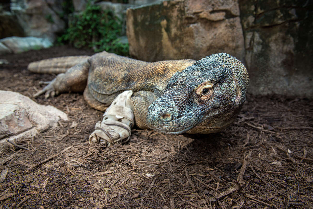 Smaug, the Houston Zoo's 9-foot, 208-pound Komodo dragon has been euthanized after a series of protracted health problems. Smaug was 17 years old. Dragons of his kind can live to be 25 years old without health issues.