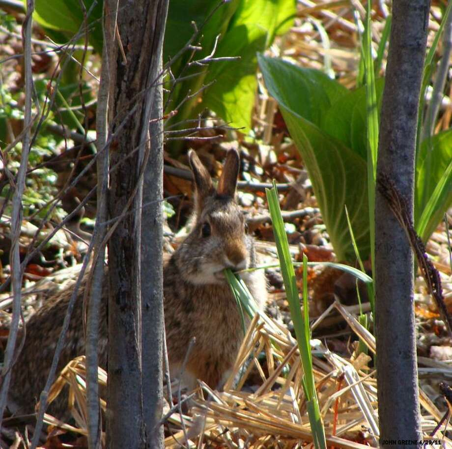 One of the region's more elusive mammals, the New England cottontail, is alive and apparently well at the Connecticut Audubon Society's Roy and Margot Larsen Wildlife Sanctuary in Fairfield. Photo: Contributed / Contributed / Connecticut Post