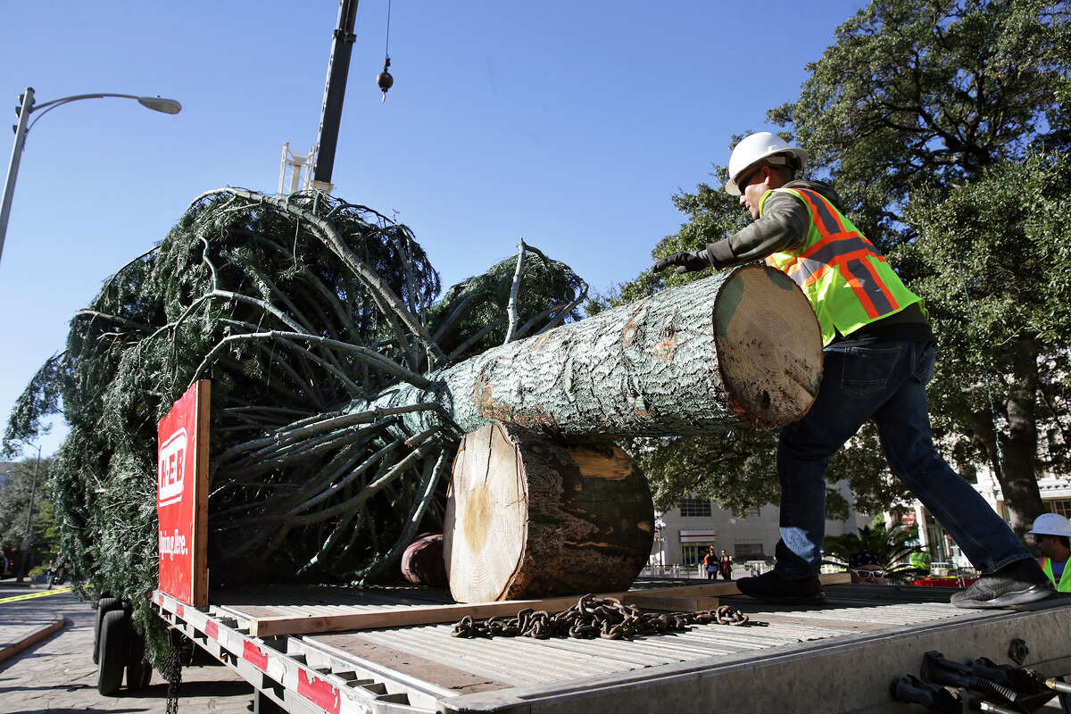 Transported on a flatbed from the Shasta Mountains in Northern California, the 55-foot white fir H-E-B Christmas tree is readied for hoisting after it arrives at Alamo Plaza on November 18, 2015. The tree will be decorated during the next week with more than 10,000 lights and ornaments featuring the Spurs logo and then it will be the centerpiece of the 31st Annual H-E-B Tree Lighting Celebration in Alamo Plaza on Friday, November 27.