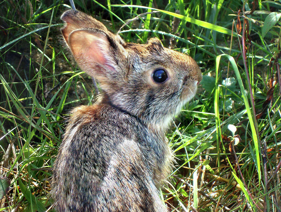 An undated photo provided by New Hampshire Fish and Game Department shows a New England cottontail rabbit. Photo: New Hampshire Fish And Game Department / Heidi Holman / Via AP / New Hampshire Fish and Game Depa