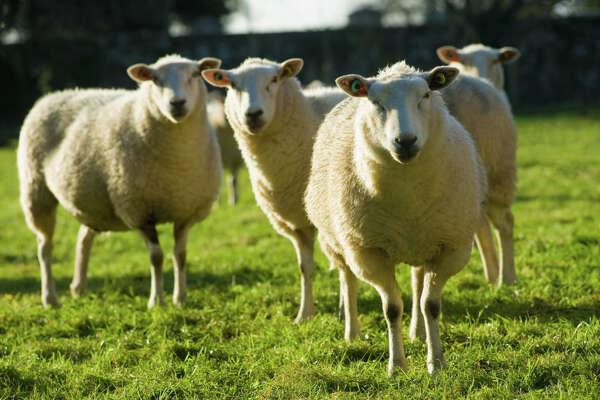 Police: Drunk Colorado woman killed 38 sheep with SUV - ExpressNews com