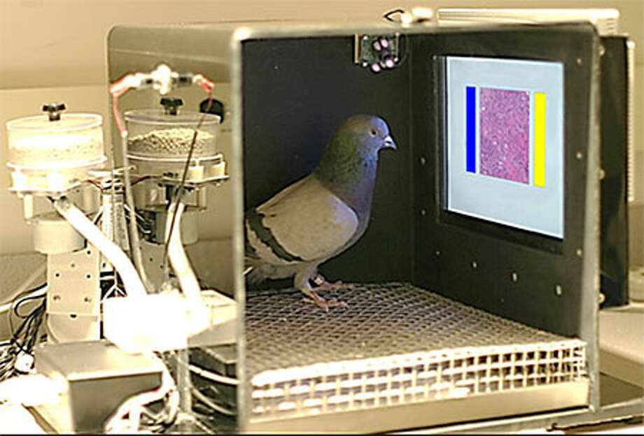 Pigeons tapped a touch-screen which projected the slides. Pecks on the yellow and blue buttons indicated theirassessmenton the presence ofmalignancies. Correct answers were rewarded with food pellets. Photo: U.C. Davis