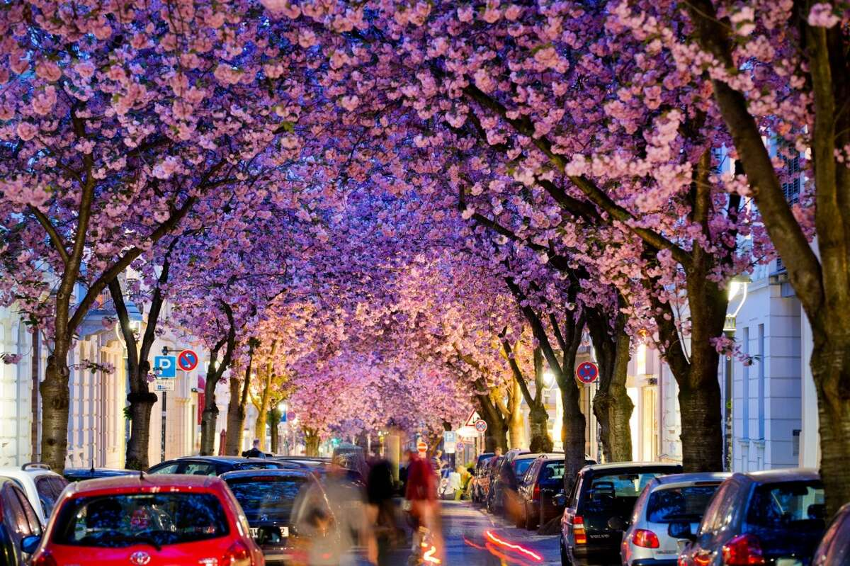 Flowering cherry trees stand in a street in Bonn, western Germany, on April 3, 2014.