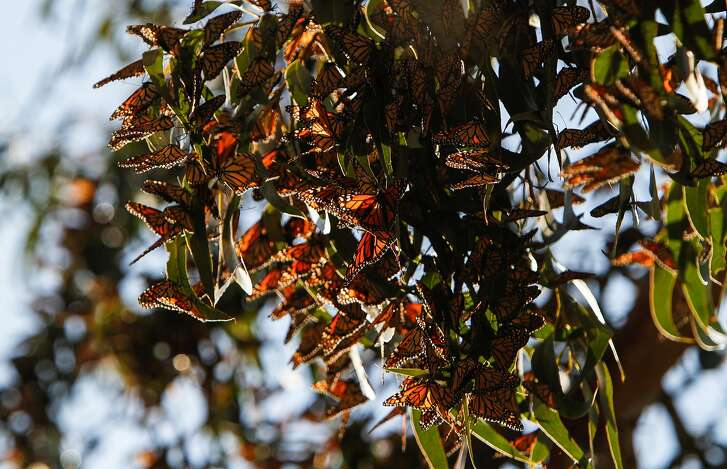Monarch butterflies high up in the trees at the Pacific Grove Monarch Sanctuary in Pacific Grove, Calif., Saturday, November 14, 2015.  The butterflies are nearing peak numbers at the sanctuary.