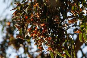 Monarch butterflies high up in the trees at the Pacific Grove Monarch Sanctuary in Pacific Grove, Calif., Saturday, November 14, 2015.