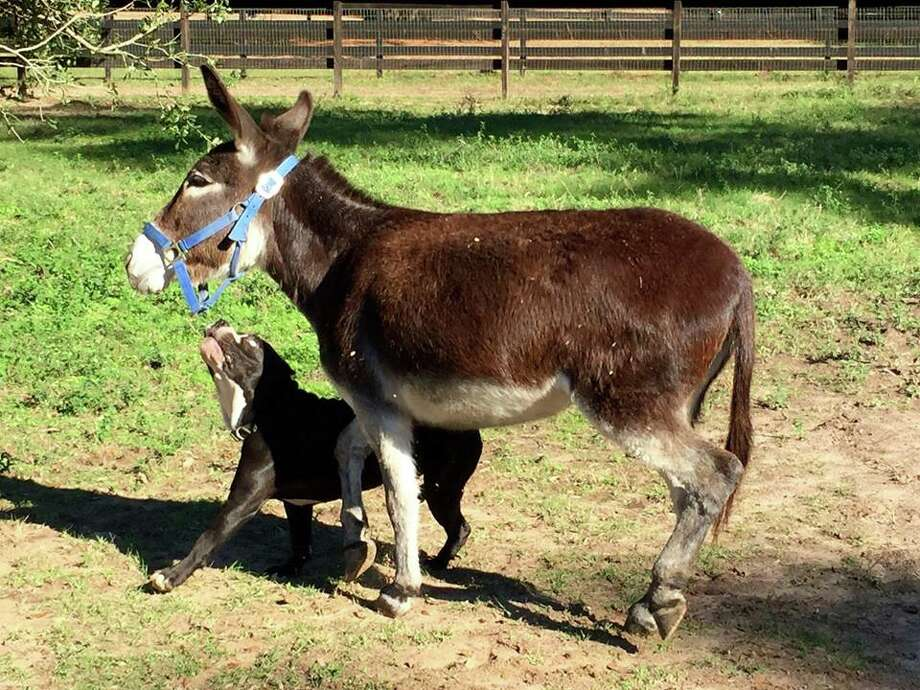 A pit bull and a donkey were seen wandering around Magnolia, and are now looking for a permanent home. Photo: Courtesy/Koren Mercer