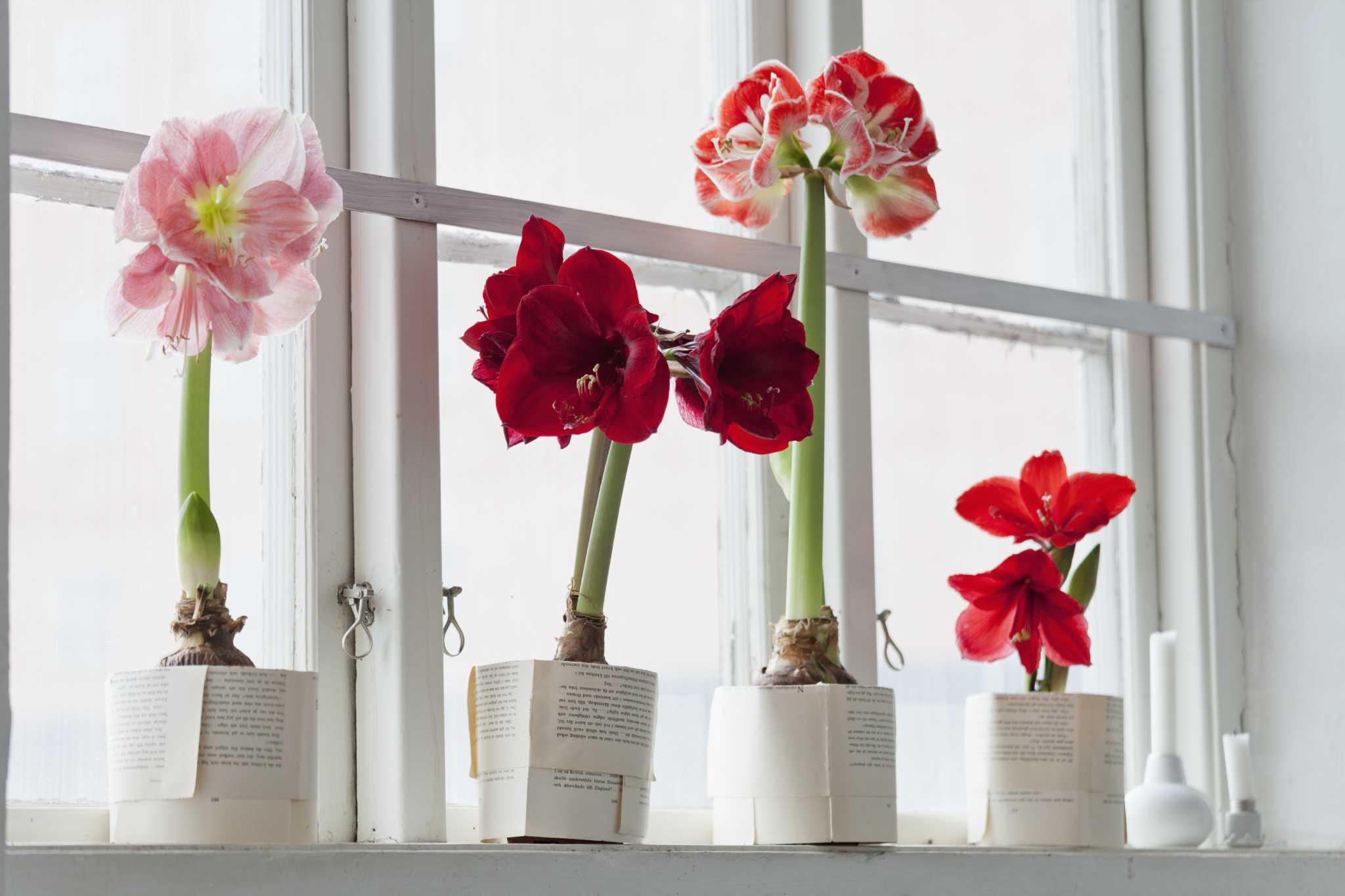 A Single Cut Amaryllis Bloom Stalk With Holiday Greenery Is Simply Striking Photo Netherlands