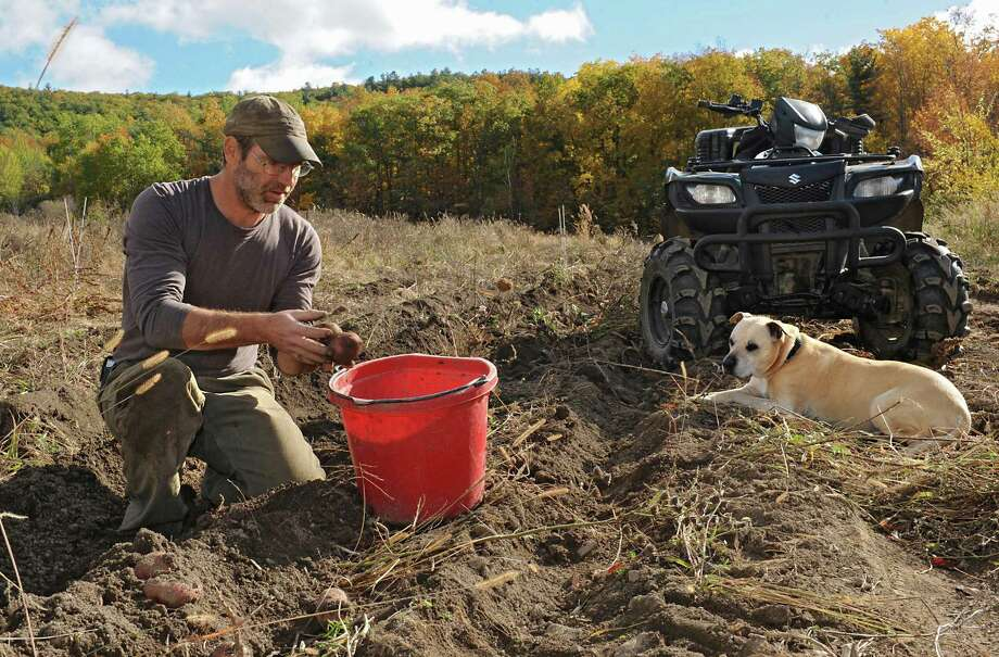 """Bob Comis harvests Chieftan red potatoes with his dog Monk at his InLine Farm Thursday, Oct. 15, 2015 in Schoharie, N.Y.  Comis is featured in an upcoming full-length documentary, """"The Last Pig."""" The film describes his years of raising pigs for slaughter and how he had an epiphany about killing the affectionate, smart animals a year ago. He quit pig farming, became a vegan and switched his Schoharie acreage to an organic vegetable farm that is a source for vegan restaurants. This was one of the fields the pigs would graze in. (Lori Van Buren / Times Union) Photo: Lori Van Buren / 10033712A"""