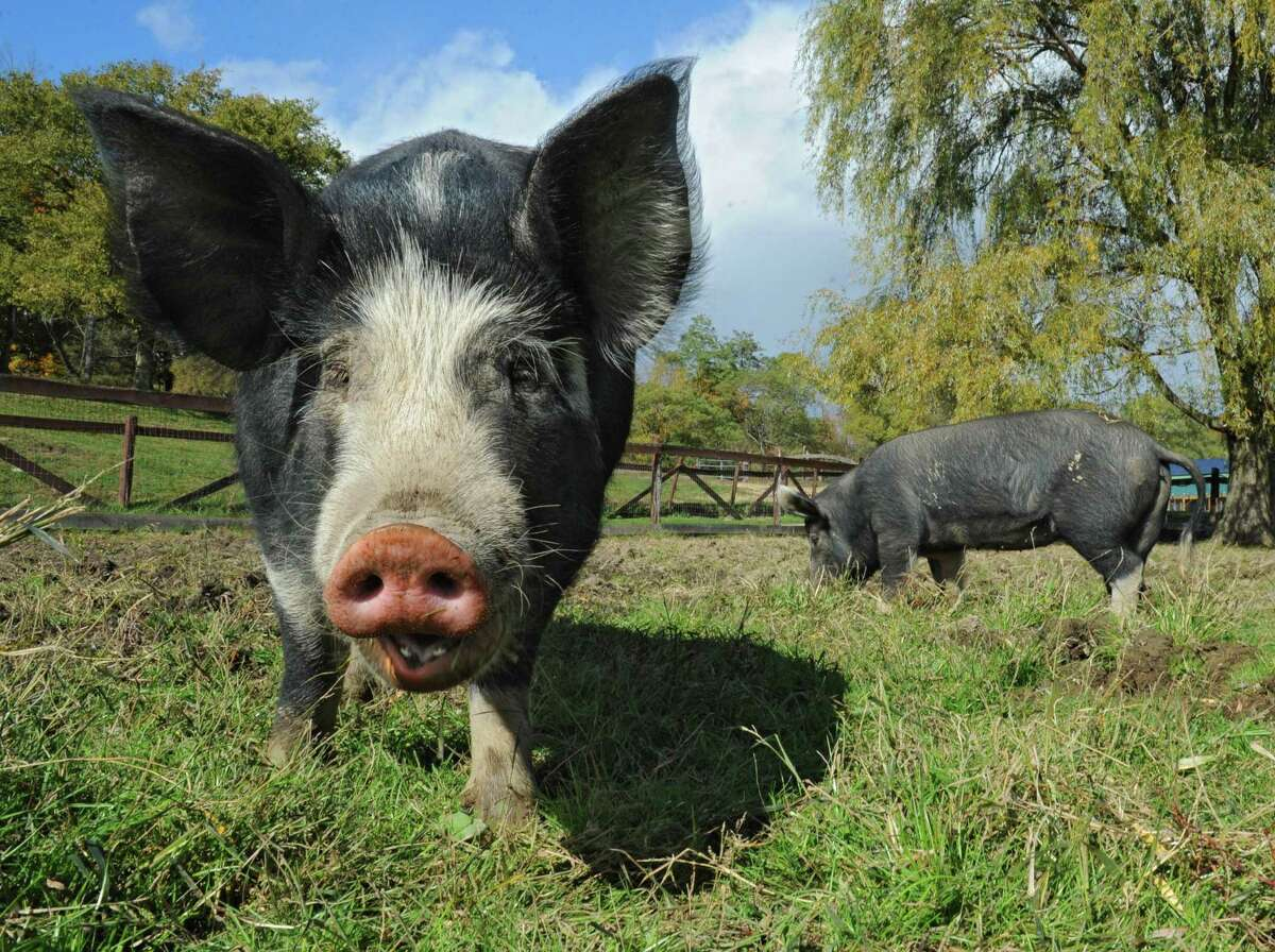 Pigs Mario, left, and Audrey graze in a field at Catskill Animal Sanctuary on Sunday, Oct. 18, 2015 in Saugerties, N.Y. These pigs were brought to the sanctuary by Bob Comis who is featured in an upcoming full-length documentary,