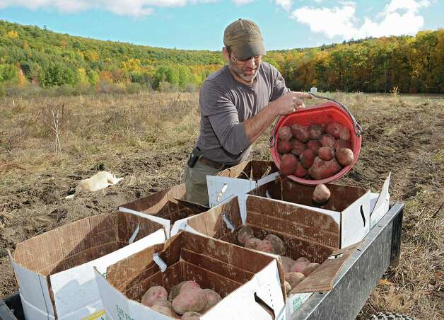 "Bob Comis harvests Chieftan red potatoes at his InLine Farm Thursday, Oct. 15, 2015 in Schoharie, N.Y.  Comis is featured in an upcoming full-length documentary, ""The Last Pig."" The film describes his years of raising pigs for slaughter and how he had an epiphany about killing the affectionate, smart animals a year ago. He quit pig farming, became a vegan and switched his Schoharie acreage to an organic vegetable farm that is a source for vegan restaurants. This was one of the fields the pigs would graze in. (Lori Van Buren / Times Union) Photo: Lori Van Buren / 10033712A"