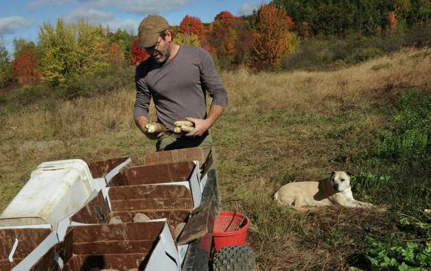 "Bob Comis harvests white daikon radishes with his dog Monk at his InLine Farm Thursday, Oct. 15, 2015 in Schoharie, N.Y.  Comis is featured in an upcoming full-length documentary, ""The Last Pig."" The film describes his years of raising pigs for slaughter and how he had an epiphany about killing the affectionate, smart animals a year ago. He quit pig farming, became a vegan and switched his Schoharie acreage to an organic vegetable farm that is a source for vegan restaurants. This was one of the fields the pigs would graze in. (Lori Van Buren / Times Union) Photo: Lori Van Buren / 10033712A"