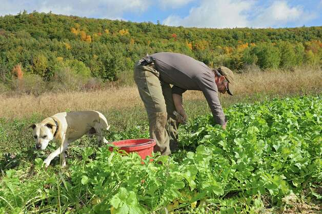 "Bob Comis harvests white daikon radishes at his InLine Farm Thursday, Oct. 15, 2015 in Schoharie, N.Y.  Comis is featured in an upcoming full-length documentary, ""The Last Pig."" The film describes his years of raising pigs for slaughter and how he had an epiphany about killing the affectionate, smart animals a year ago. He quit pig farming, became a vegan and switched his Schoharie acreage to an organic vegetable farm that is a source for vegan restaurants. This was one of the fields the pigs would graze in. (Lori Van Buren / Times Union) Photo: Lori Van Buren / 10033712A"
