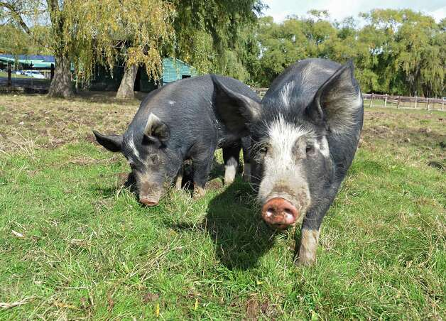 "Pigs Audrey, left, and Mario graze in a field at Catskill Animal Sanctuary on Sunday, Oct. 18, 2015 in Saugerties, N.Y. These pigs were brought to the sanctuary by Bob Comis who is featured in an upcoming full-length documentary, ""The Last Pig."" The film describes his years of raising pigs for slaughter and how he had an epiphany about killing the affectionate, smart animals a year ago. He quit pig farming, became a vegan and switched his Schoharie acreage to an organic vegetable farm that is a source for vegan restaurants. (Lori Van Buren / Times Union) Photo: Lori Van Buren / 10033712A"