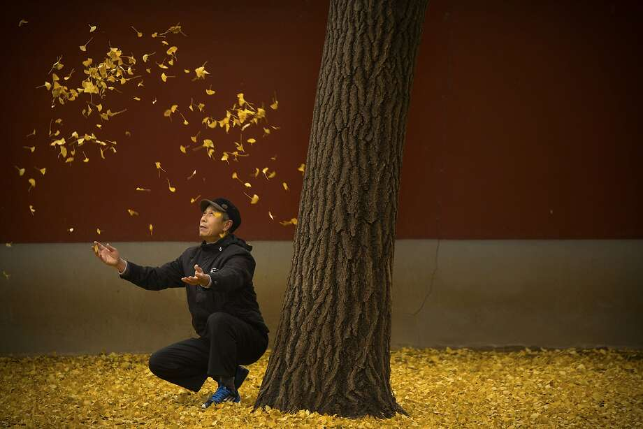 An elderly man tosses fallen gingko tree leaves into the air in a park in Beijing, Friday, Nov. 20, 2015. China's capital has been hit with unusually cool and wet weather in recent weeks. Photo: Mark Schiefelbein, Associated Press
